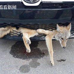 في واقعة طريفة بإحدي مدن الصين ذئب عالق بمصد سيارة بعد اصطدامه بها