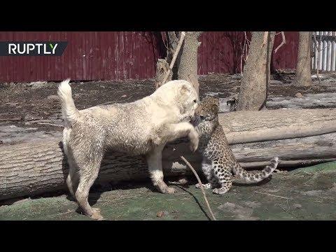 شاهد صداقة بين فهد وكلبة