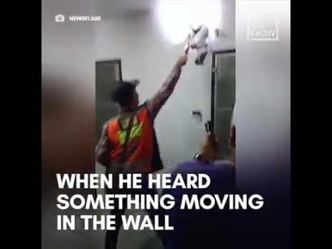 بالفيديو إستخراج أفعى طولها 405 من جدار منزل