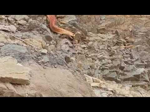 بالفيديو شاهد ثعبان ضخم فى عقبة ضلع