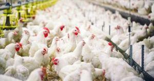 تعديل علماء جينات الدجاج ليقاوم إنفلونزا الطيور