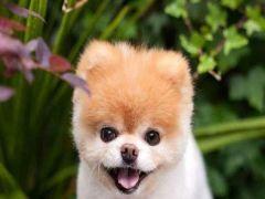 """أصحاب ألطف كلب في العالم """"بو""""يعلنوا تفاصيل خبر وفاته الصادمة"""