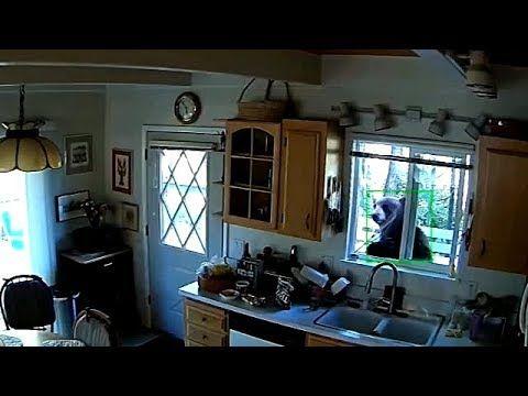 شاهد دب يقتحم نافذة منزل من أجل البحث عن الطعام