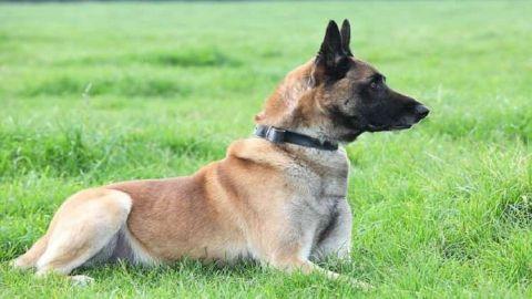 لماذا منحت بريطانيا الكلب مالى وسام ديكين؟!