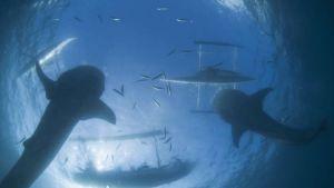 مئات من أسماك القرش العملاقة تتجمع قبالة السواحل الأمريكية