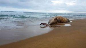 هل قتل السونار العسكري البريطاني الحيتان فى إيرلندا؟!